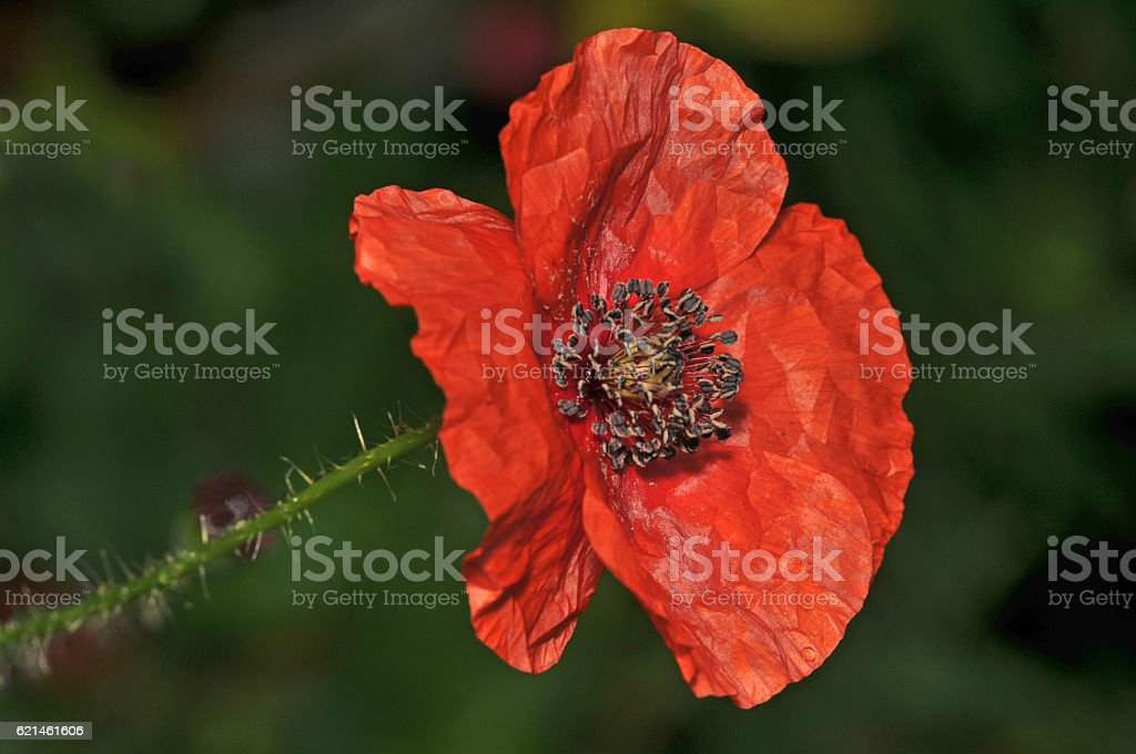 giant red poppy full of seed stock photo