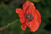 giant red poppy full of seed