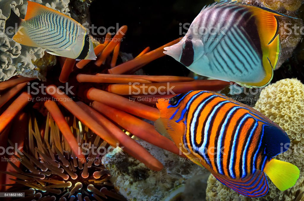 Giant Red Sea Urchin stock photo