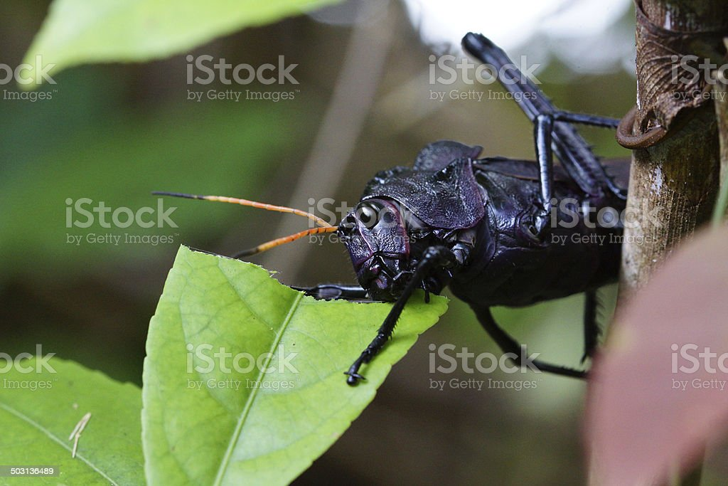 Giant red-winged grasshopper stock photo