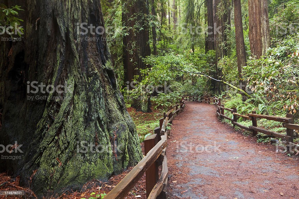 Giant Redwood and Path in John Muir Woods stock photo
