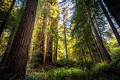 Giant redwood forest.