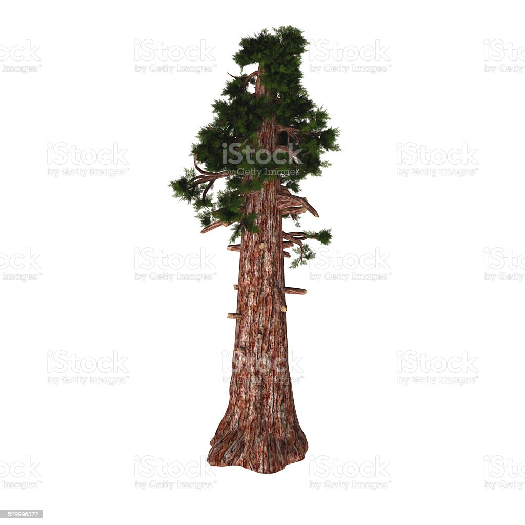 Giant Redwood Tree stock photo