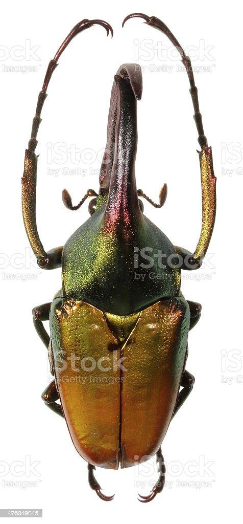 Giant rhinoceros beetle stock photo