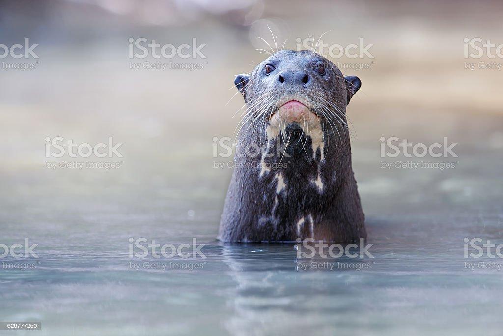 Giant river otter in the nature habitat stock photo