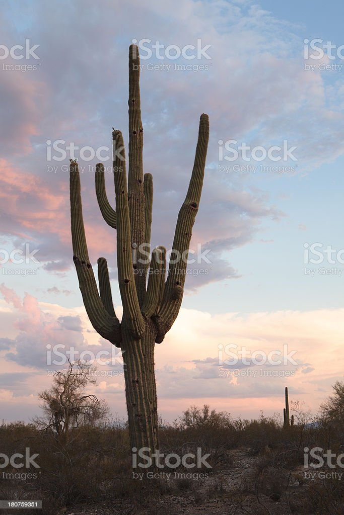 Giant Saguaro royalty-free stock photo