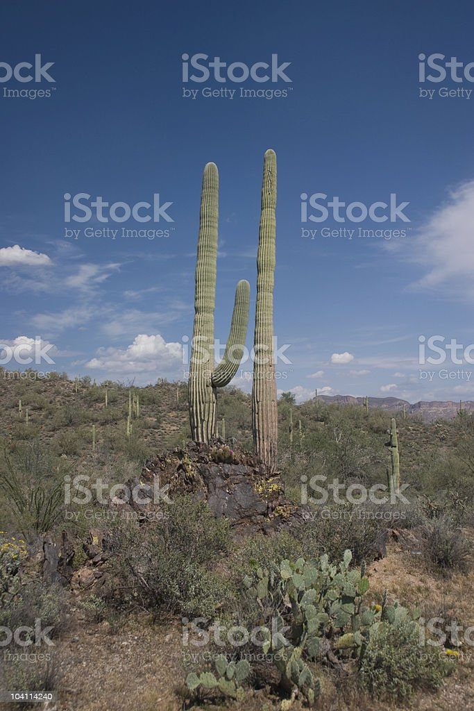 Giant Saguaros royalty-free stock photo