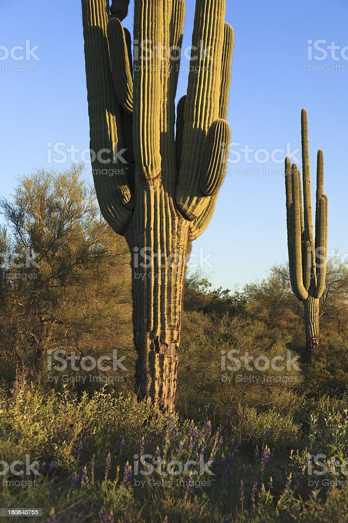Giant Saguaros royalty-free stock photo