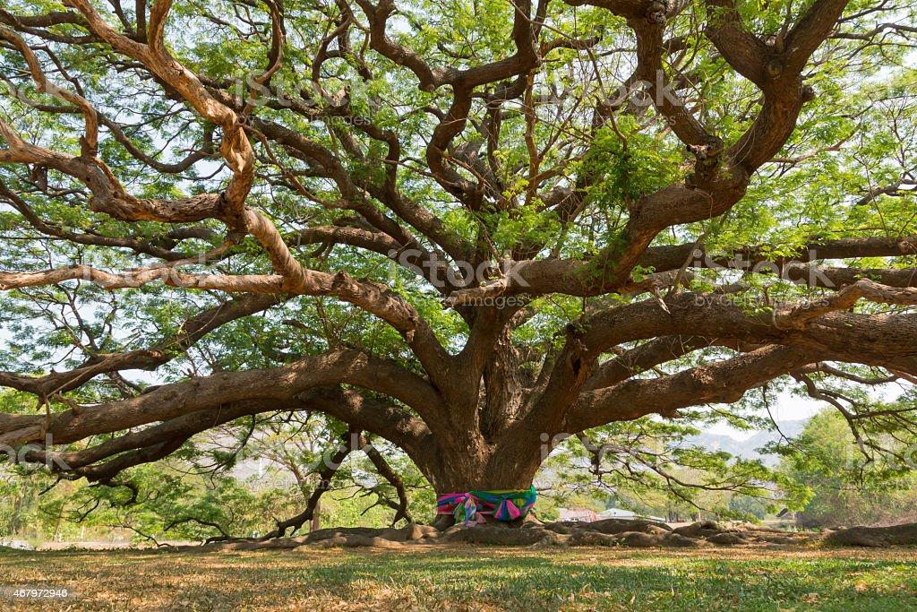 giant samanea tree stock photo