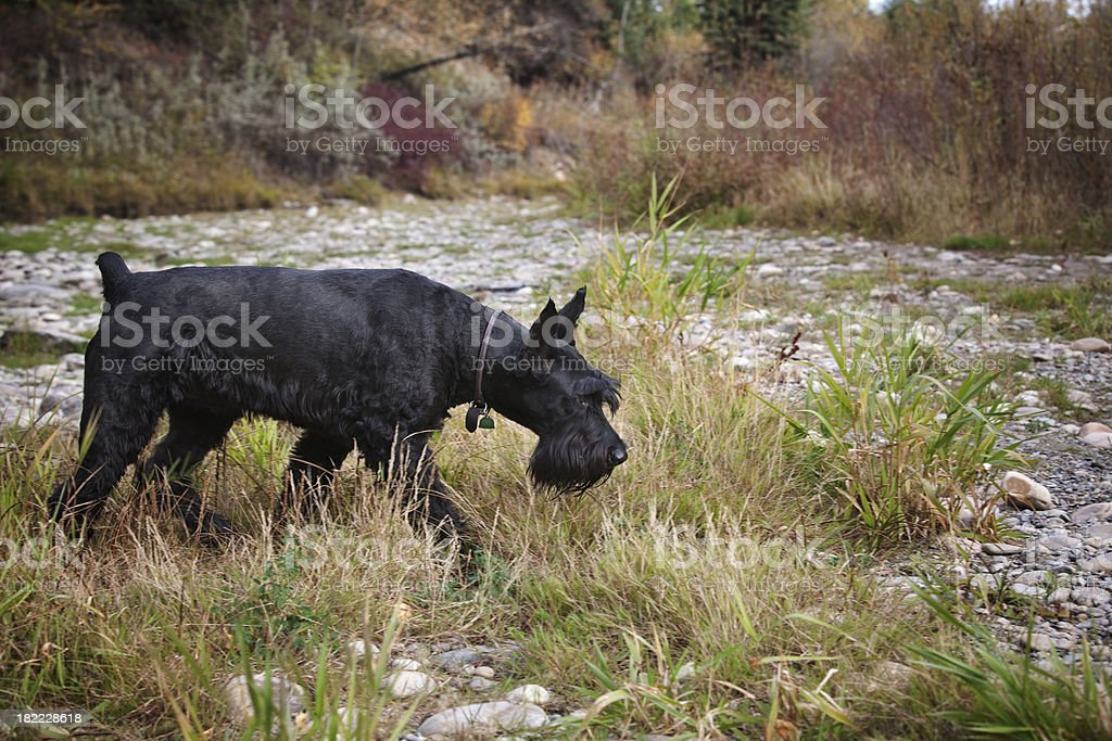 Giant Schnauzer Searching stock photo