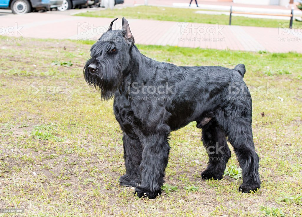Giant schnauzer waits. stock photo