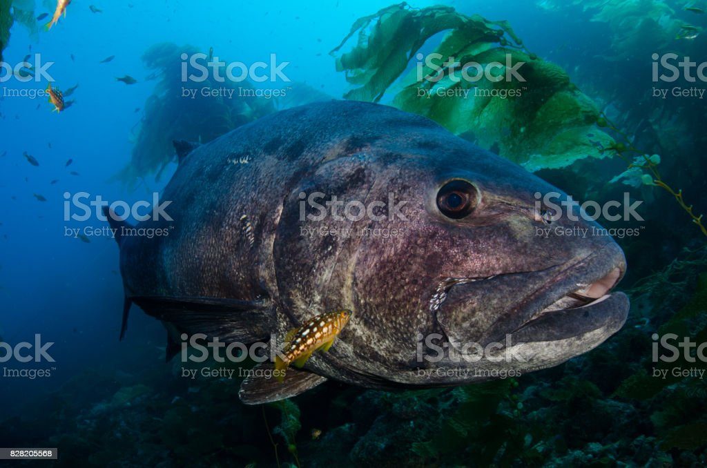 Giant Sea Bass in Kelp Forest stock photo
