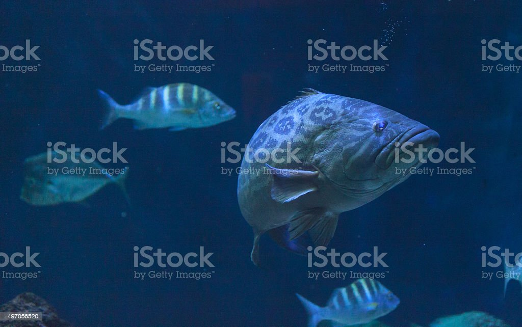 Giant sea bass, Stereolepis gigas stock photo