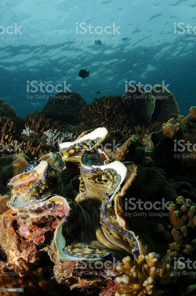 Giant sea Clam stock photo