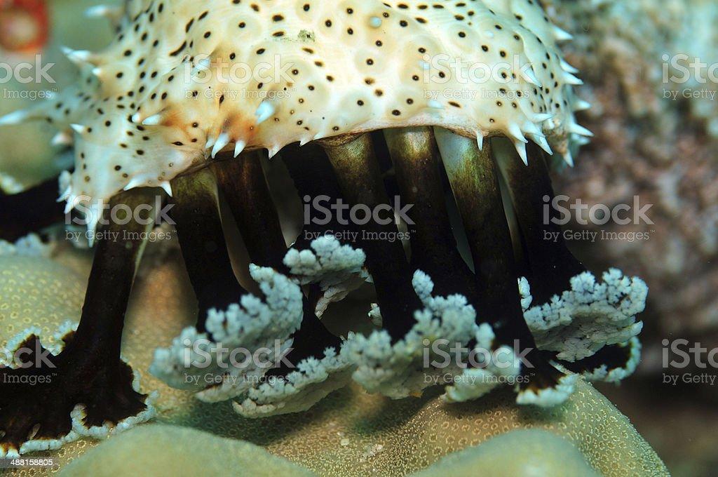 Giant sea cucumber stock photo