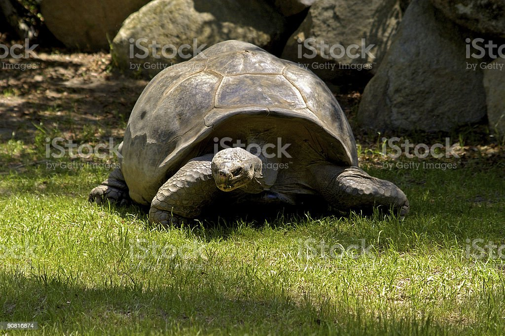 giant sea turtle royalty-free stock photo
