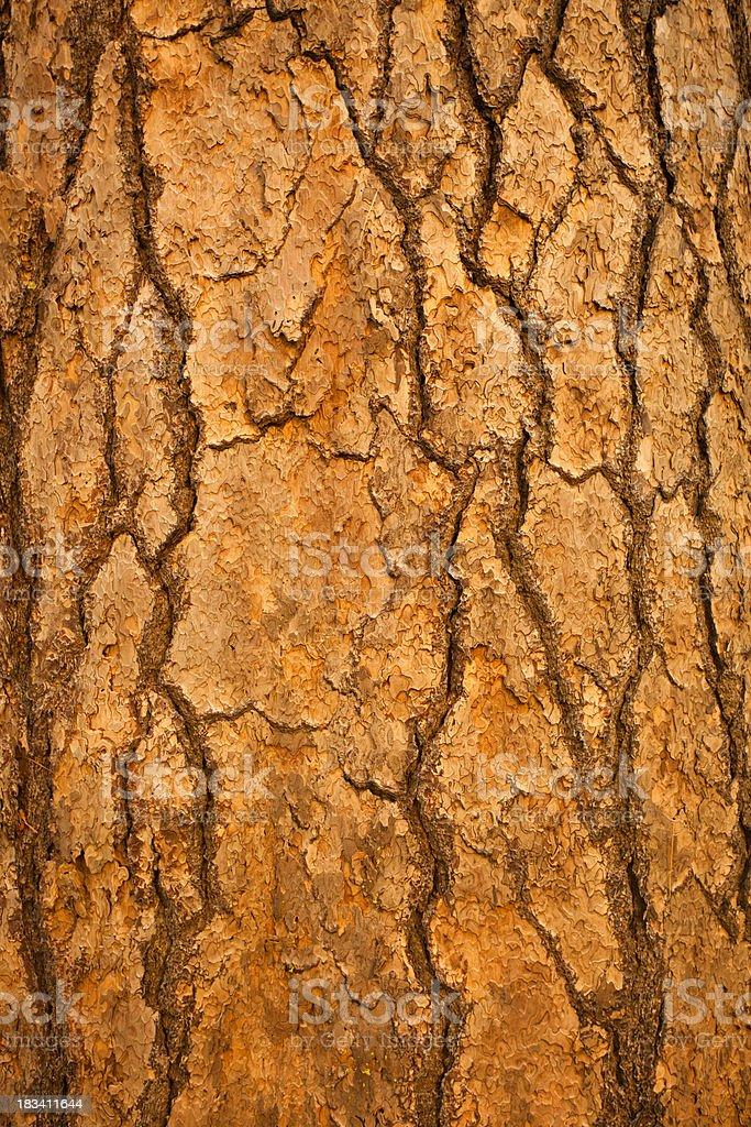 Giant Sequoia (Sequoiadendron giganteum) bark royalty-free stock photo