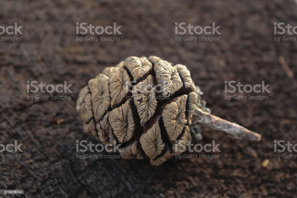 Giant Sequoia Cone stock photo