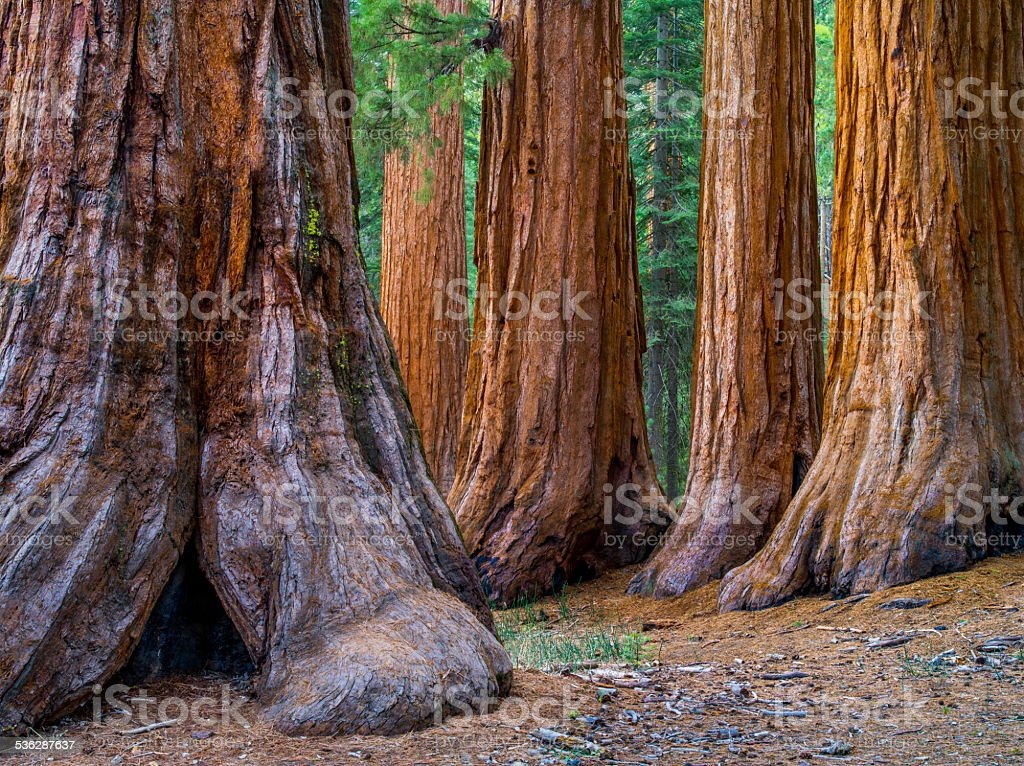 Giant Sequoia, Mariposa Grove Trees stock photo