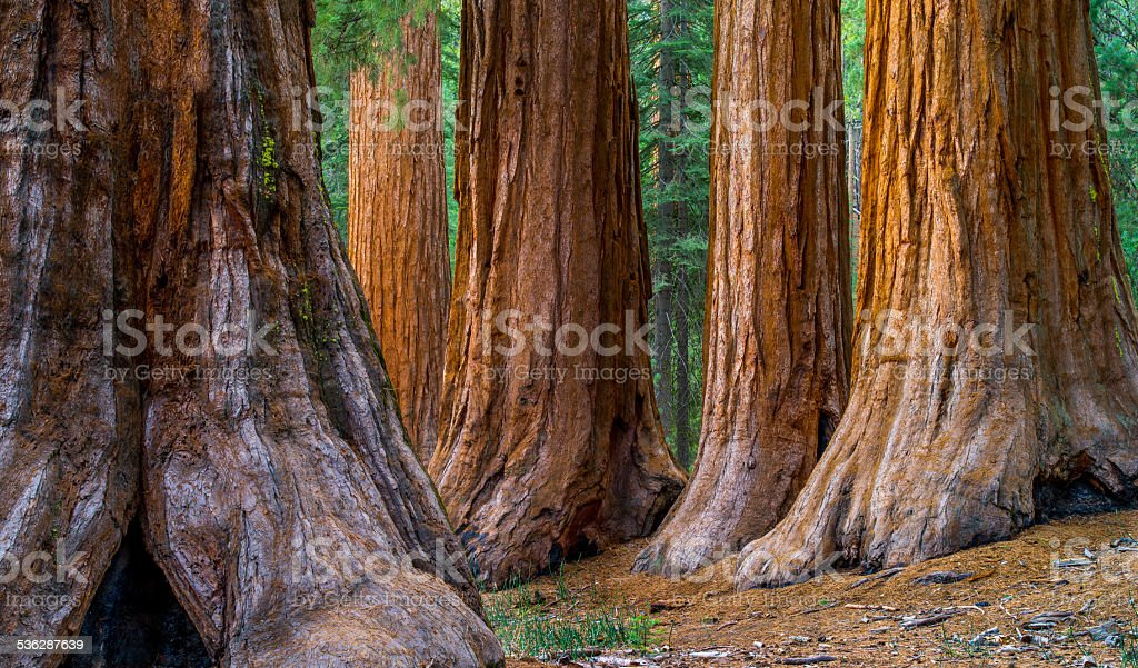 Giant Sequoia, Mariposa Grove Trees stock photo