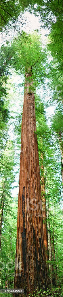 Giant Sequoia Panoramic - Sequoia.National Park stock photo
