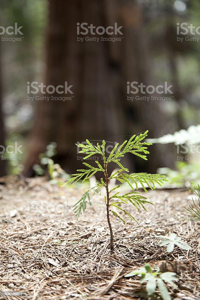 Giant Sequoia stock photo