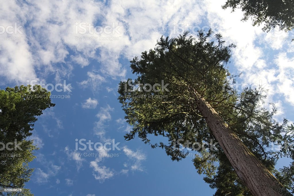 Giant sequoia (Sequoiadendron giganteum) seen from below stock photo