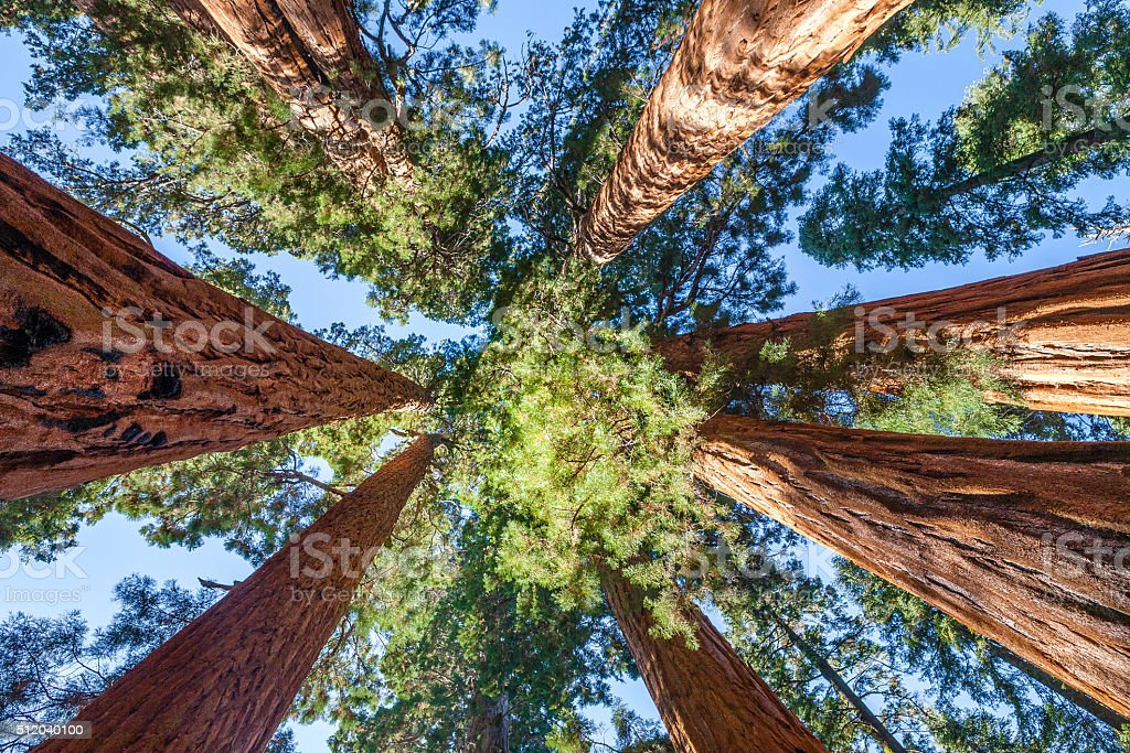 Giant Sequoia Tree Canopy, The Senate Trees stock photo