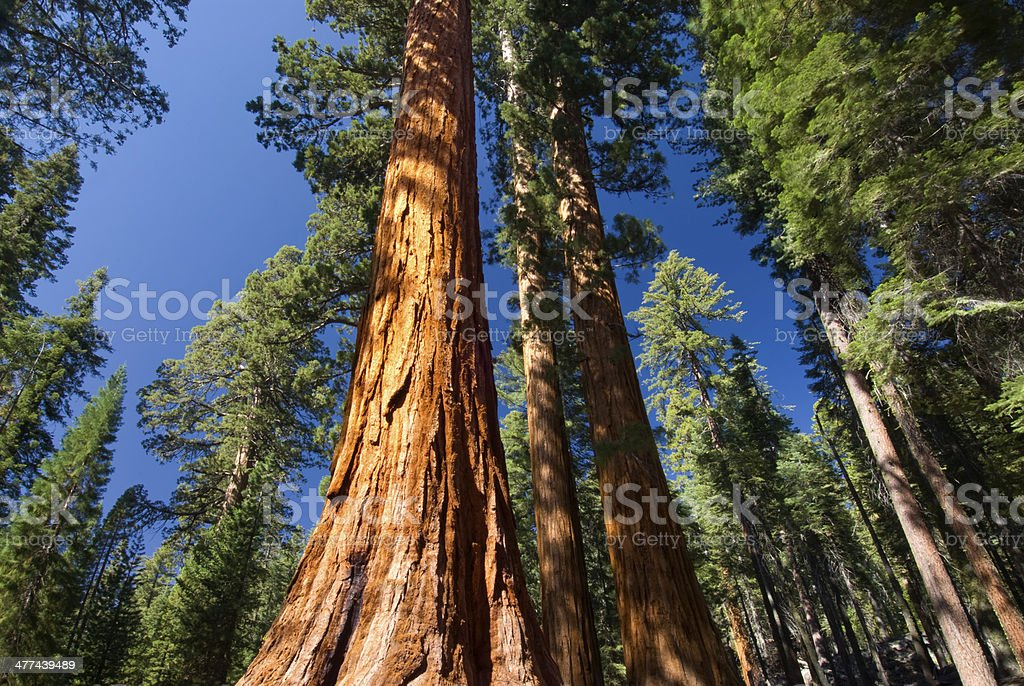 Giant Sequoia tree, Mariposa Grove, Yosemite National Park, California, USA stock photo