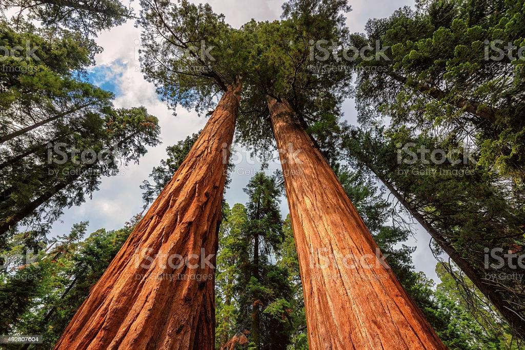 Giant sequoia trees in Sequoia National Park, California stock photo