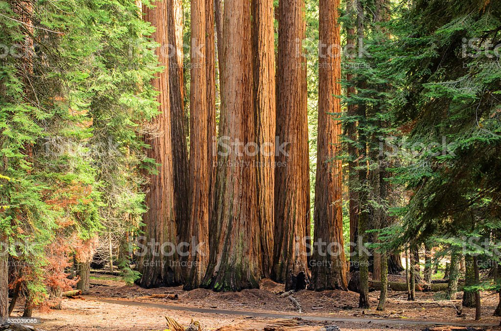 Giant Sequoia Trees stock photo