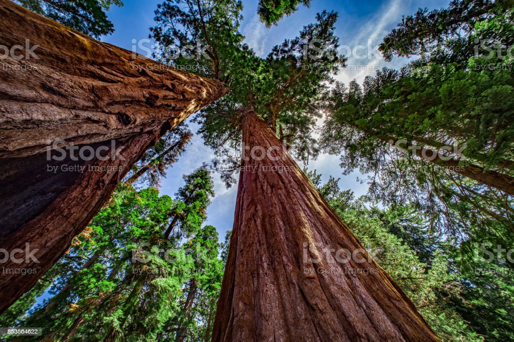 Giant Sequoia Trees, Sequoia National Park, California, USA stock photo
