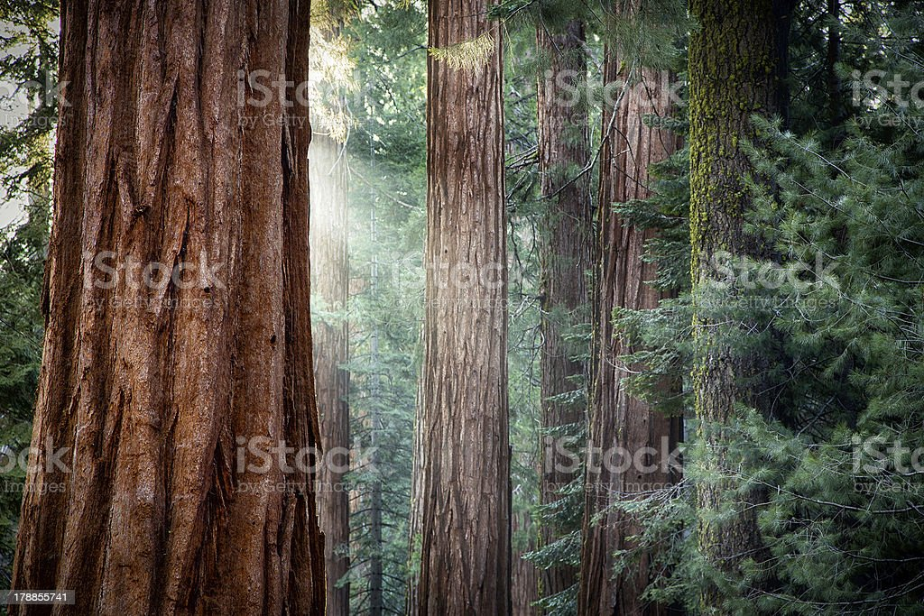 Giant Sequoias in early morning light stock photo