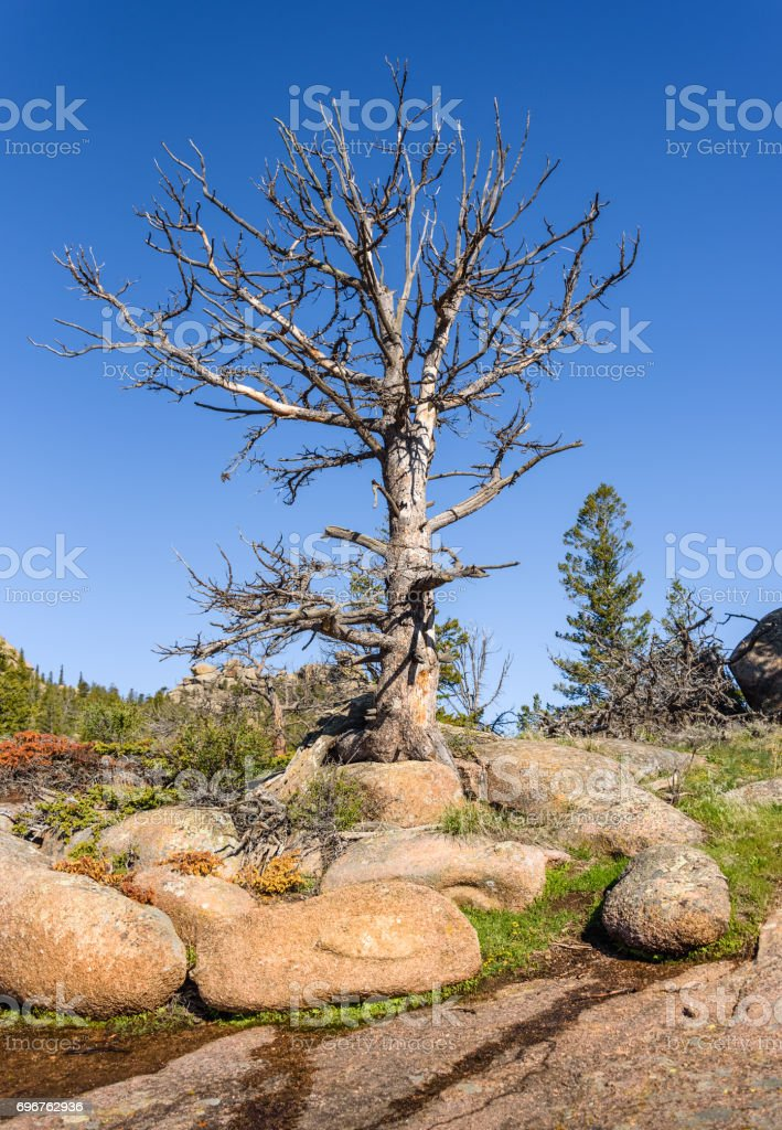 Giant, solitary dead tree on rocks, high altitude in the mountain woods, with a blue sky and green forest background. Destroyed by insect parasites, bark beetles. Vedauwoo National Park, Wyoming, USA stock photo
