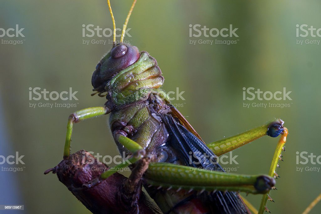 Giant South American Grasshopper stock photo