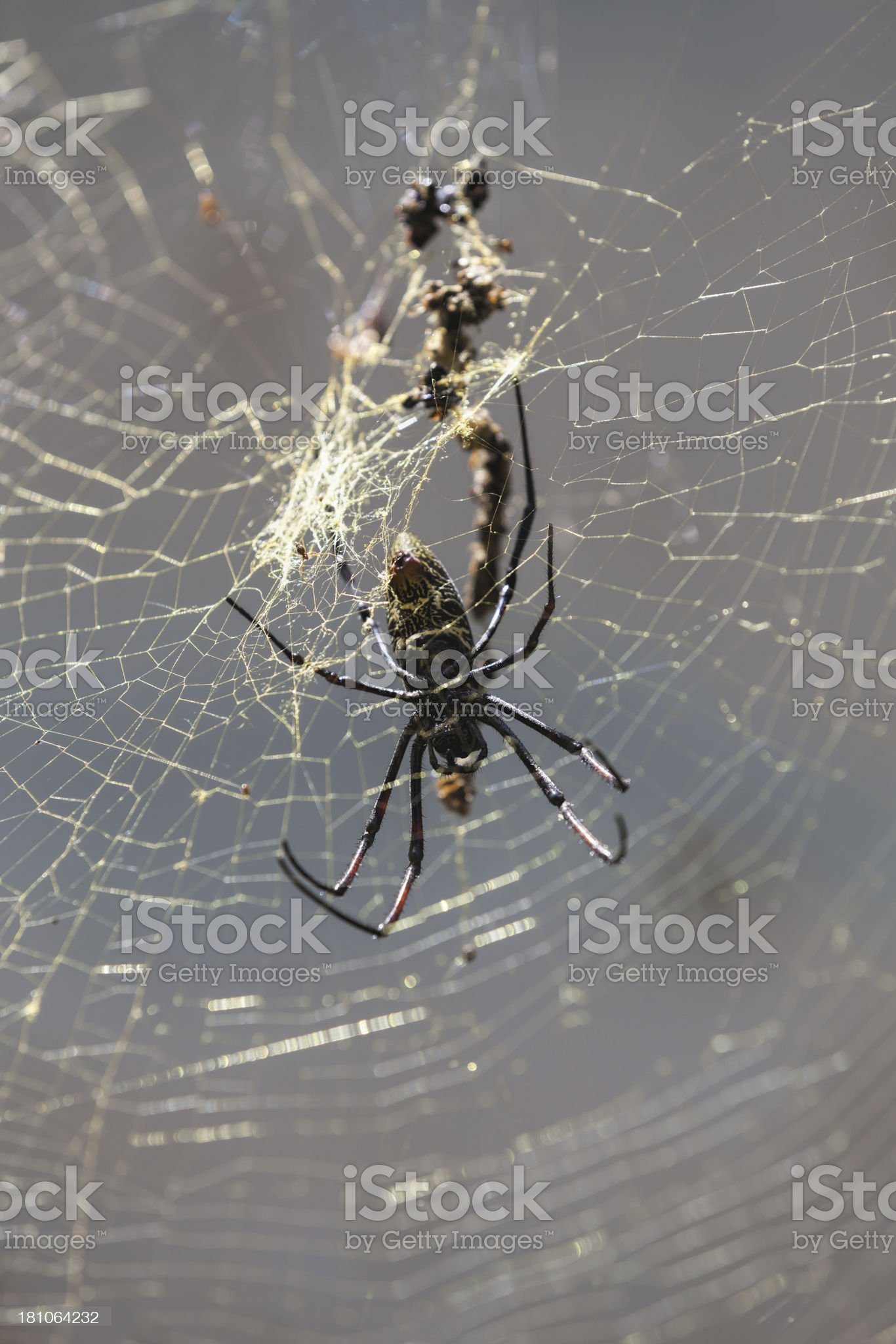 Giant Spider on net and fly royalty-free stock photo