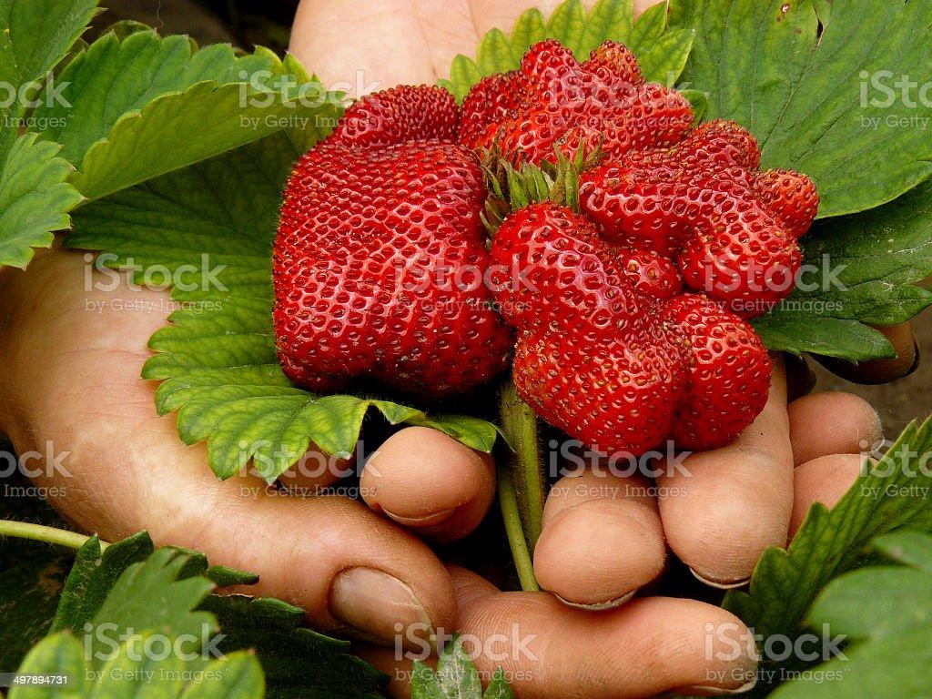 giant strawberry stock photo