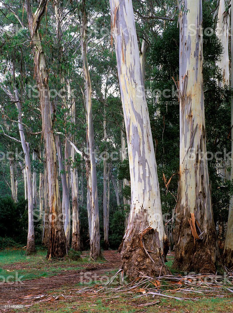 Giant stringy bark gum trees stock photo