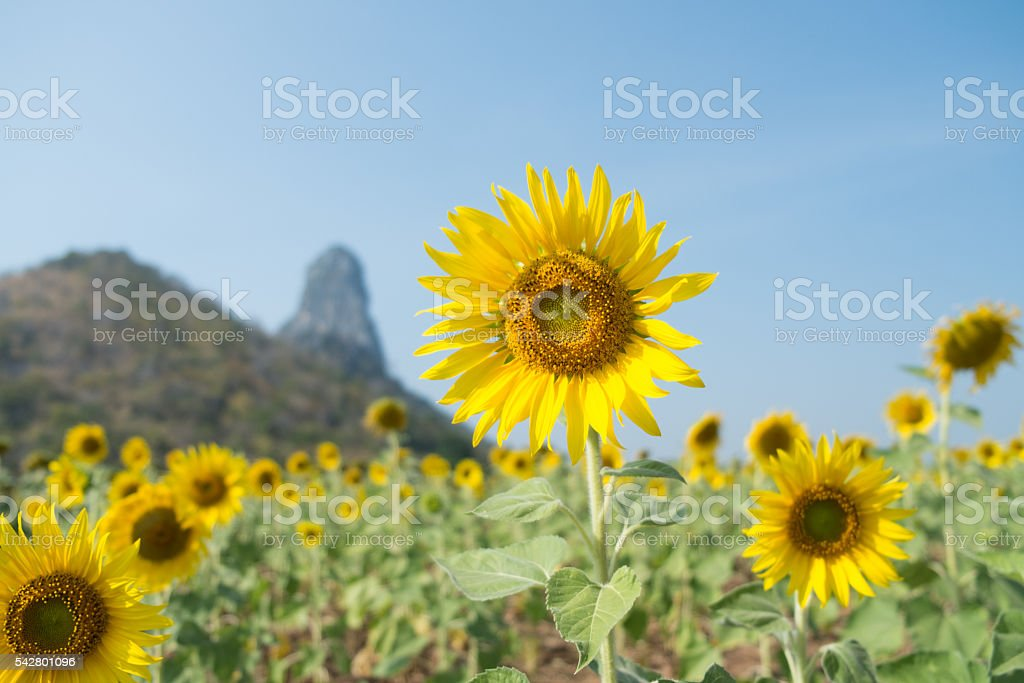 Giant sunflowers field in Thailand stock photo