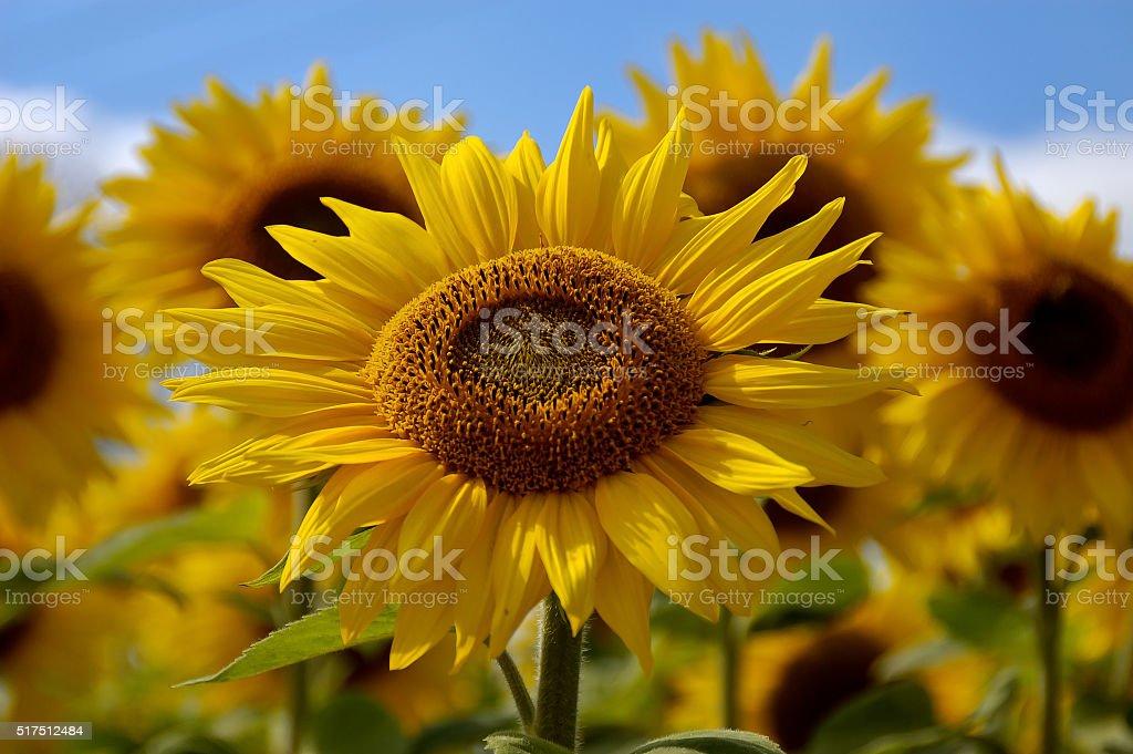 Giant Sunflowers stock photo