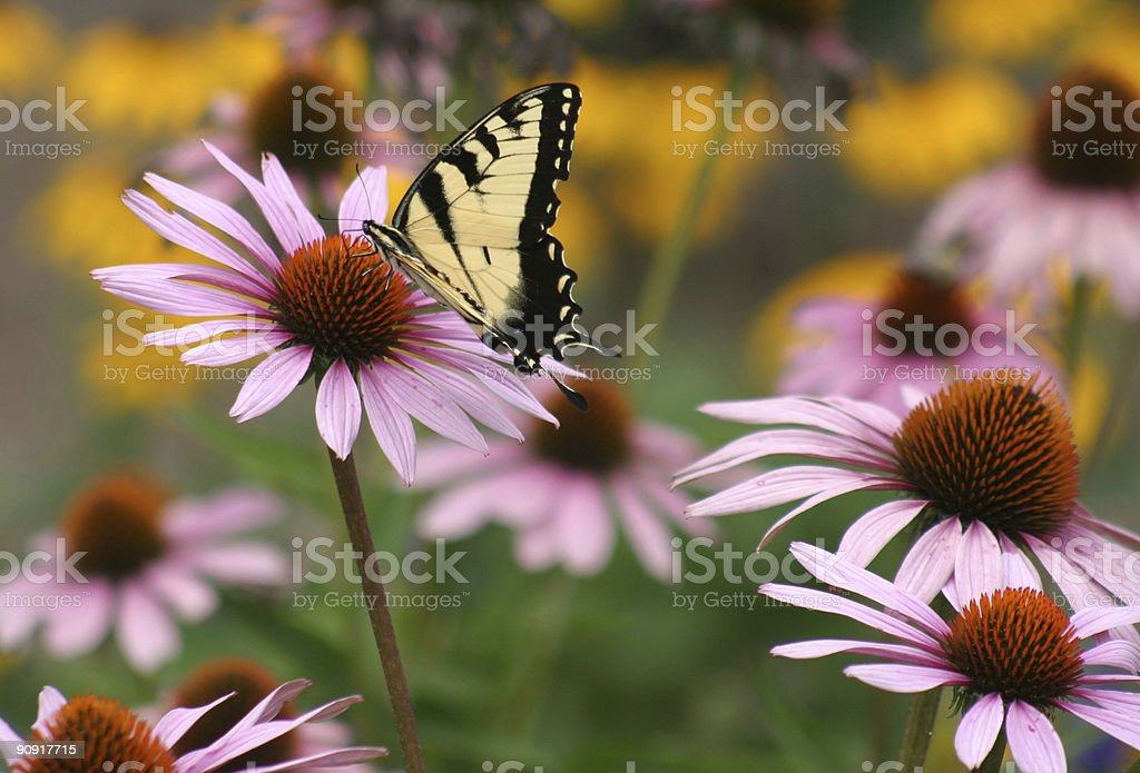 giant swallowtail on purple coneflower stock photo