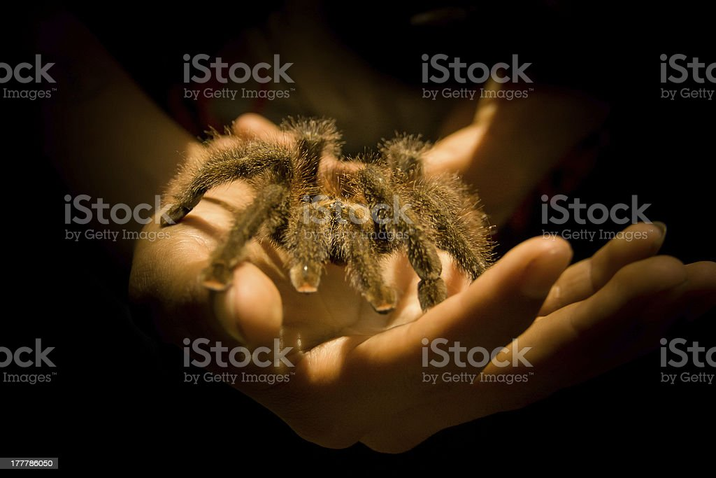 Giant Tarantula spider posing on a person's hands royalty-free stock photo