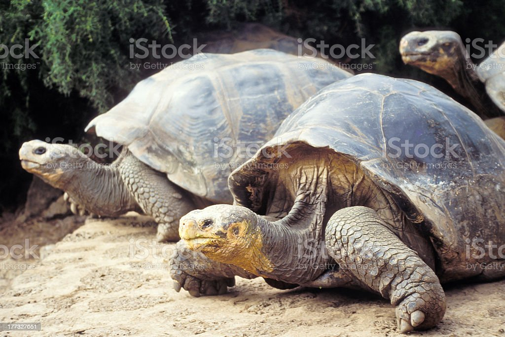 Giant tortoise, Galapagos Islands, Ecuador stock photo
