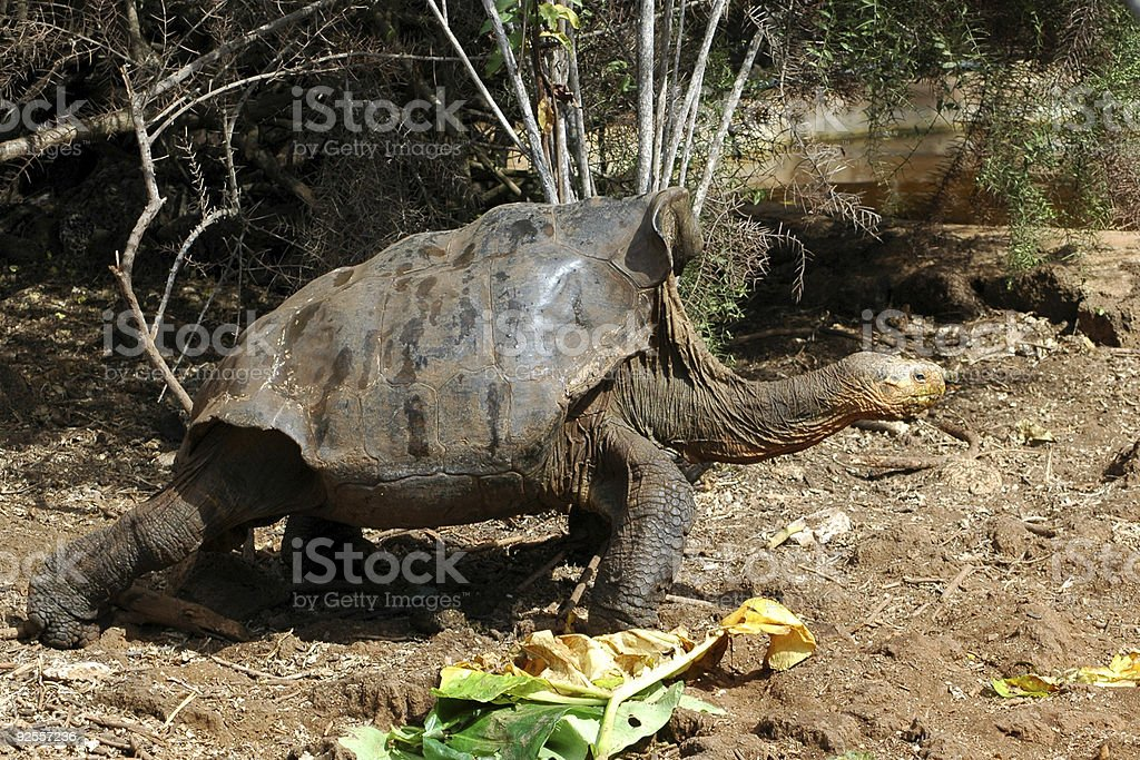 giant tortoise, Geochelone elephantopus hoodensis stock photo
