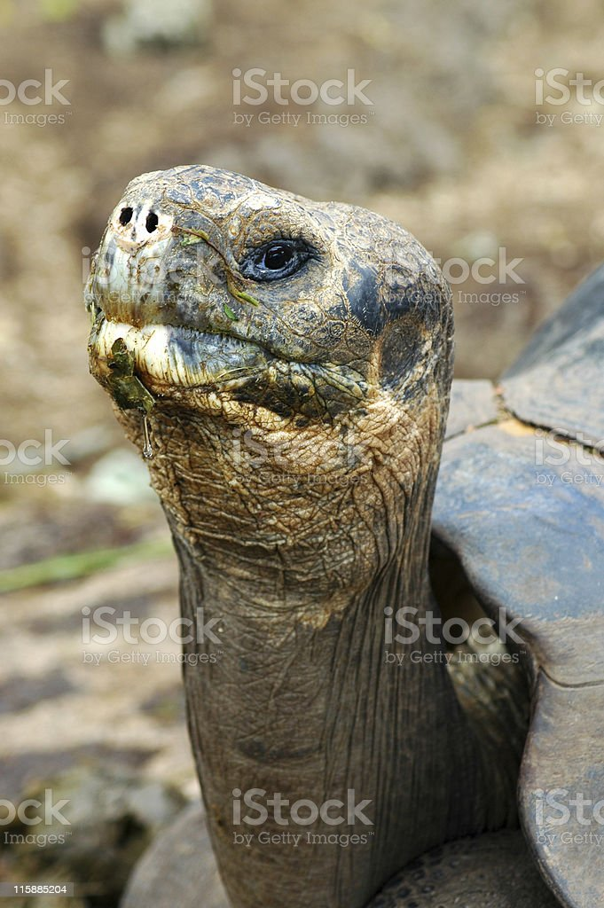 giant tortoise, Geochelone elephantopus stock photo