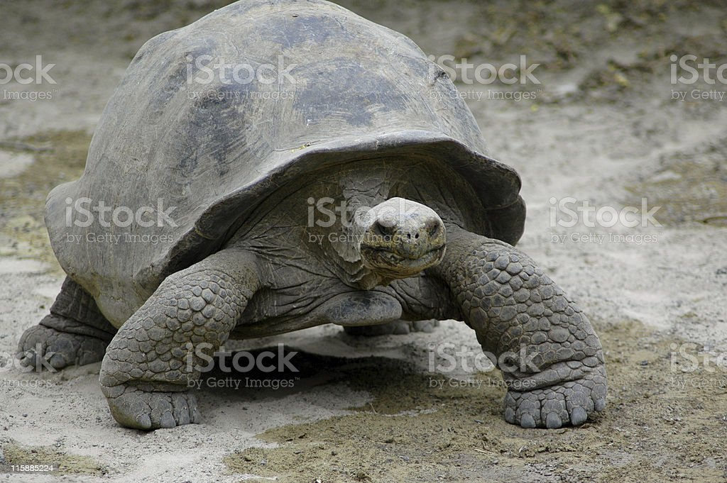 giant tortoise, Geochelone elephantopus royalty-free stock photo