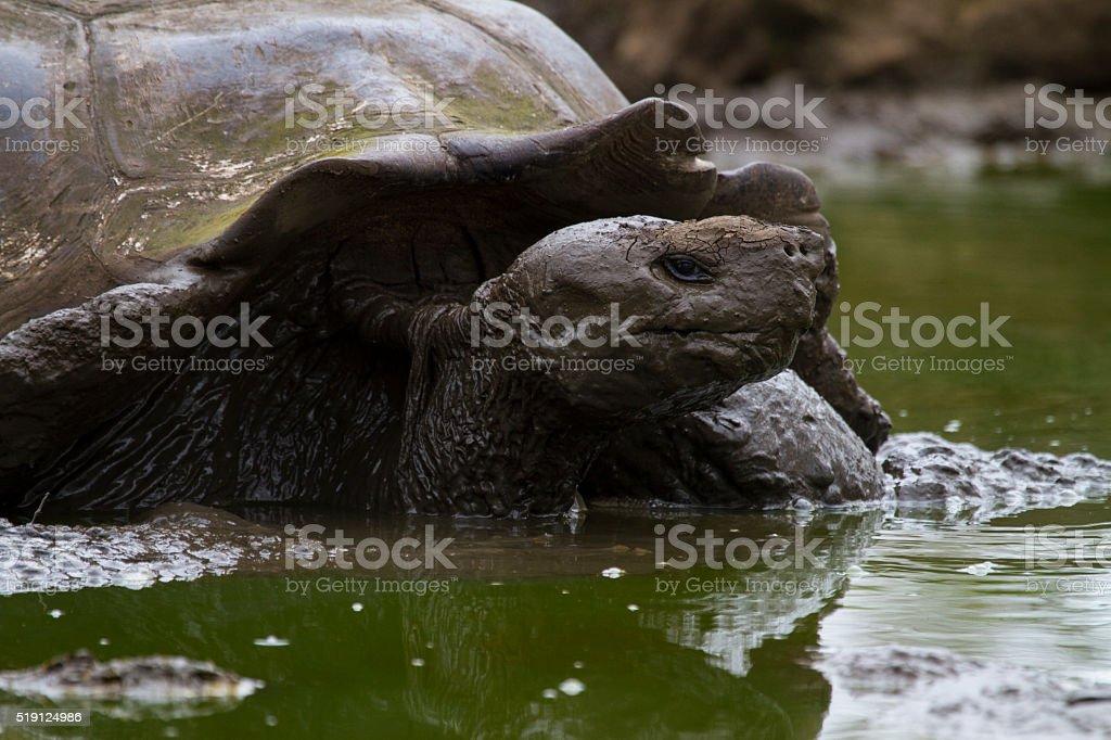 Giant tortoise in mud pool stock photo