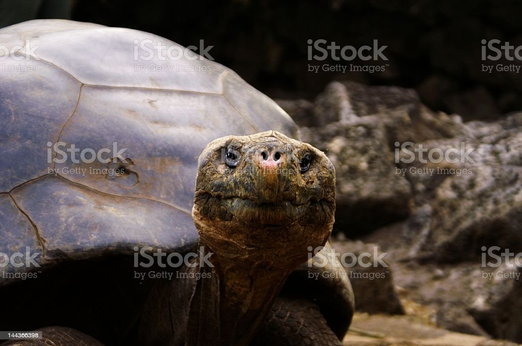 Giant Tortoise Looking into Camera stock photo