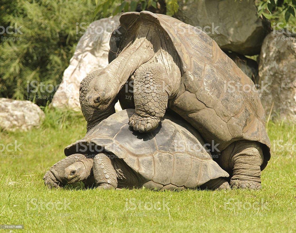 Giant Tortoise Mating stock photo