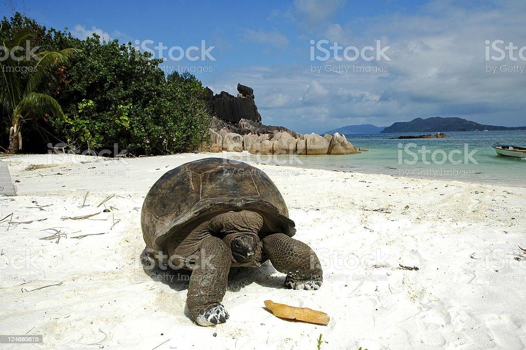 Giant tortoise on beach stock photo